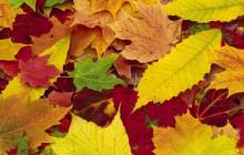 Autumn leaves wallpaper - Autumn