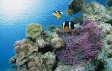 Clark's Anemonefish and Leathery Sea Anemone - Japan