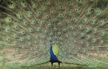 Indian Peafowl - Children's Zoo - Saitama - Japan