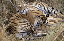 Bengal Tigers - Bandhavgarh National Park - India