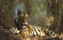 Bengal Tiger Resting - Bandhavgarh National Park - India