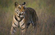 Bengal Tiger Walking in Dry Grasses - Bandhavgarh - India