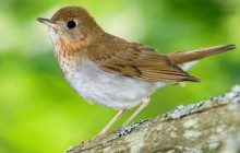 Veery - Kingston - Annapolis Valley - Nova Scotia - Canada