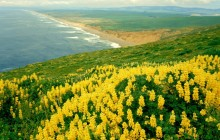 Wild Lupines - Point Reyes National Seashore - California
