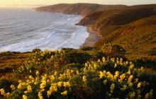 Yellow Lupine Above McClure's Beach - Point Reyes - California