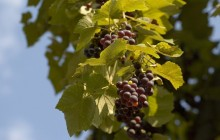 Grape vine - Food