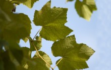 Grape leaves HD