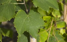 Grape leaves wallpaper
