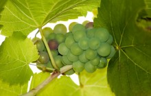 Green grapes - Food