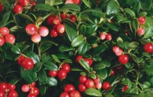 Cranberry shrub - Food