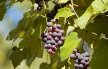 Grapes HD - Food
