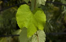 Grape leave HD