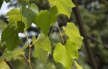 Grape leaves images