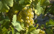 White grapes - Food