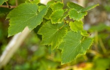 Grape leaves photo - Food