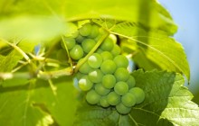 Green grapes images