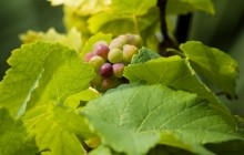 Green grapes HD