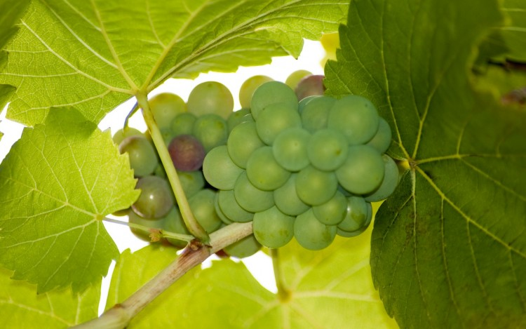 Green grapes, Food wallpapers