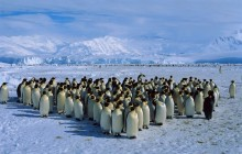 Emperor Penguin Colony - Antarctica