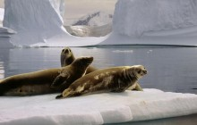 Seals at the South Pole - Antarctica