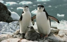 Chinstrap Penguin Parents and Chicks - Antarctica