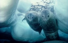 Weddell Seal and Pup - Antarctica