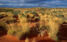Spinifex Grass - Little Sandy Desert - Australia