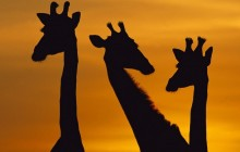 Giraffe Trio at Dawn - Botswana