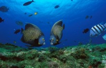 French Angelfish Pair - Rocas Atoll - Brazil