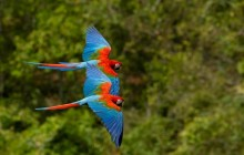 Macaws in Flight - Brazil