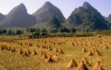 Harvested Rice Field - Li River Area - China