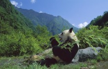 Giant Panda Eating Bamboo - Wolong Nature Reserve - China