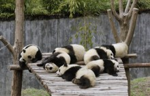 Giant Panda Cubs Sleeping - Wolong Nature Reserve - China