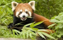 Red Panda Eating Bamboo - Wolong Nature Reserve - China