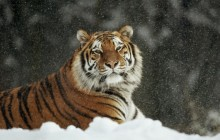 Siberian Tiger - Harbin - China - China