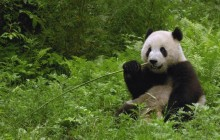 Giant Panda Eating Bamboo - Wolong Reserve - China