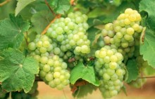 Folle Blanche Grapes - Armagnac - France