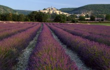 Lavender at Banon - Provence - France - France