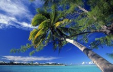 Bended Palm Tree on Marlon Brando's Private Atoll - French Polynesia
