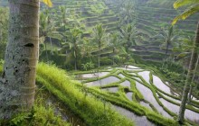 Terraced Rice Paddies - Ubud Area - Bali - Indonesia