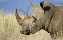 White Rhinoceros With a Red-Billed Oxpecker - Kenya