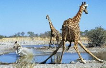 Action at the Watering Hole - Etosha National Park - Namibia