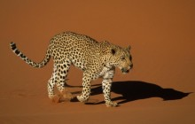 Leopard Walking Over Sand - Naukluft National Park - Namibia