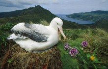 Royal Albatross - Campbell Island - New Zealand