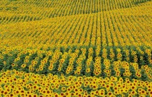 Sunflowers - Andalucia - Cadiz Province - Spain