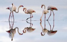Greater Flamingos - Fuente de Piedra Lagoon - Spain