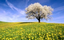 Cherry Tree and Dandelion Meadow - Zug Canton - Switzerland