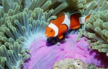 False Clown Anemonefish - Similan Islands - Thailand