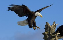 Bald Eagle HD wallpaper - Alaska