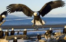 Bald Eagles - Kachemak Bay - Kenai Peninsula - Alaska